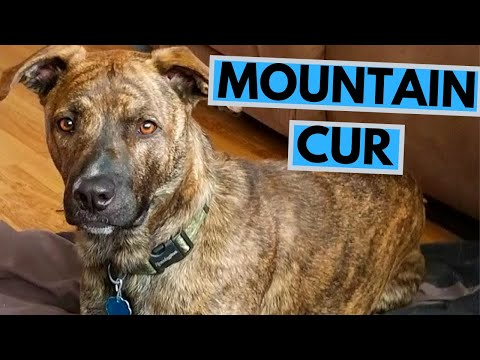Mountain Cur Dog Breed - Facts and Information