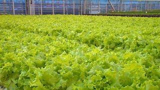 «Край аграрный». Тепличные овощи