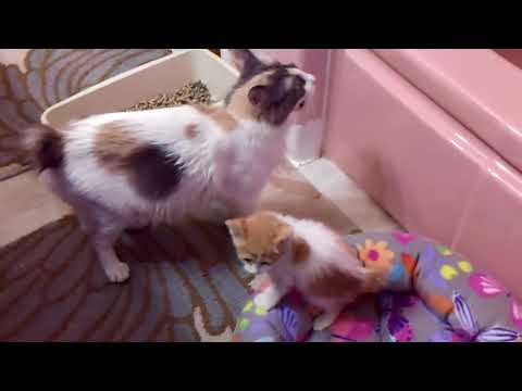 Missy's Kittens Born 11/30/17 - Two Japanese Bobtail Males