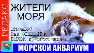 видео Стромбусы в морском аквариуме