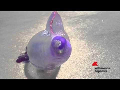 I tentacoli letali della 'Caravella Portoghese'...