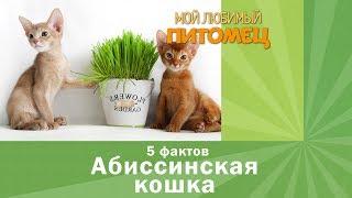 Абиссинская кошка. 5 фактов о детях богини Бастет