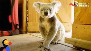 Rescued Koala Gets Help From His Favorite Girl | Dodo Heroes Season 1