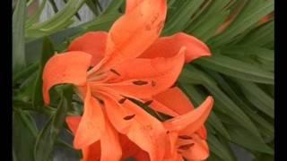 El jardinero en casa - LILIUM