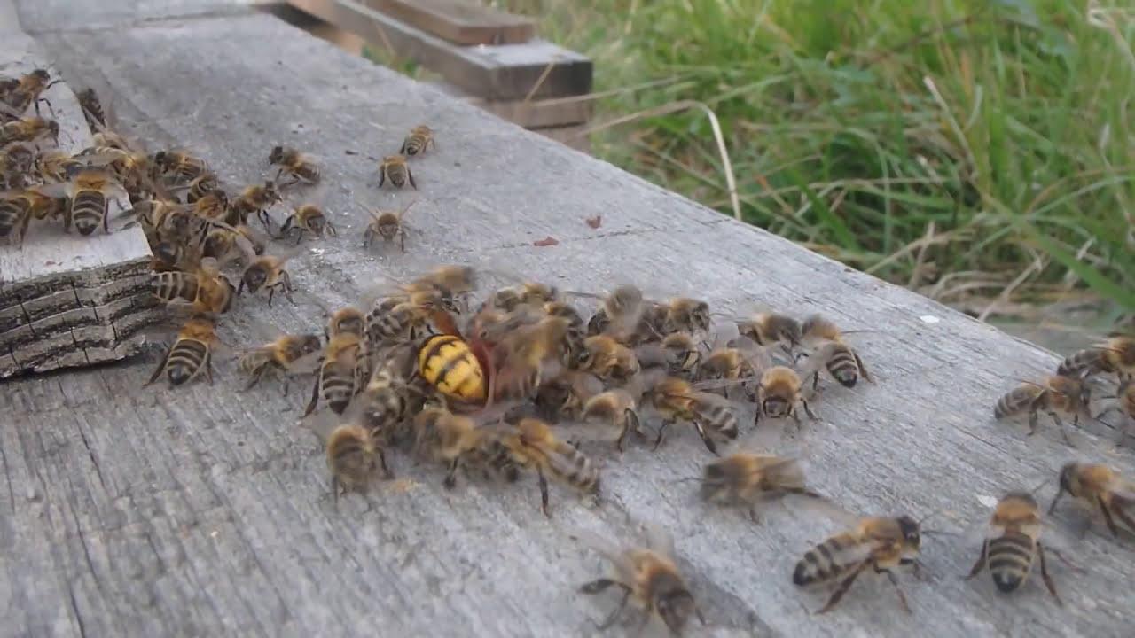 abeilles vs frelon youtube. Black Bedroom Furniture Sets. Home Design Ideas