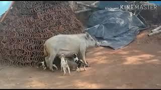 Pig feed milk puppy