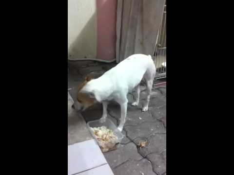 Jack Russell Terrier (Parson Russell Terrier) Dog Lost - 6..