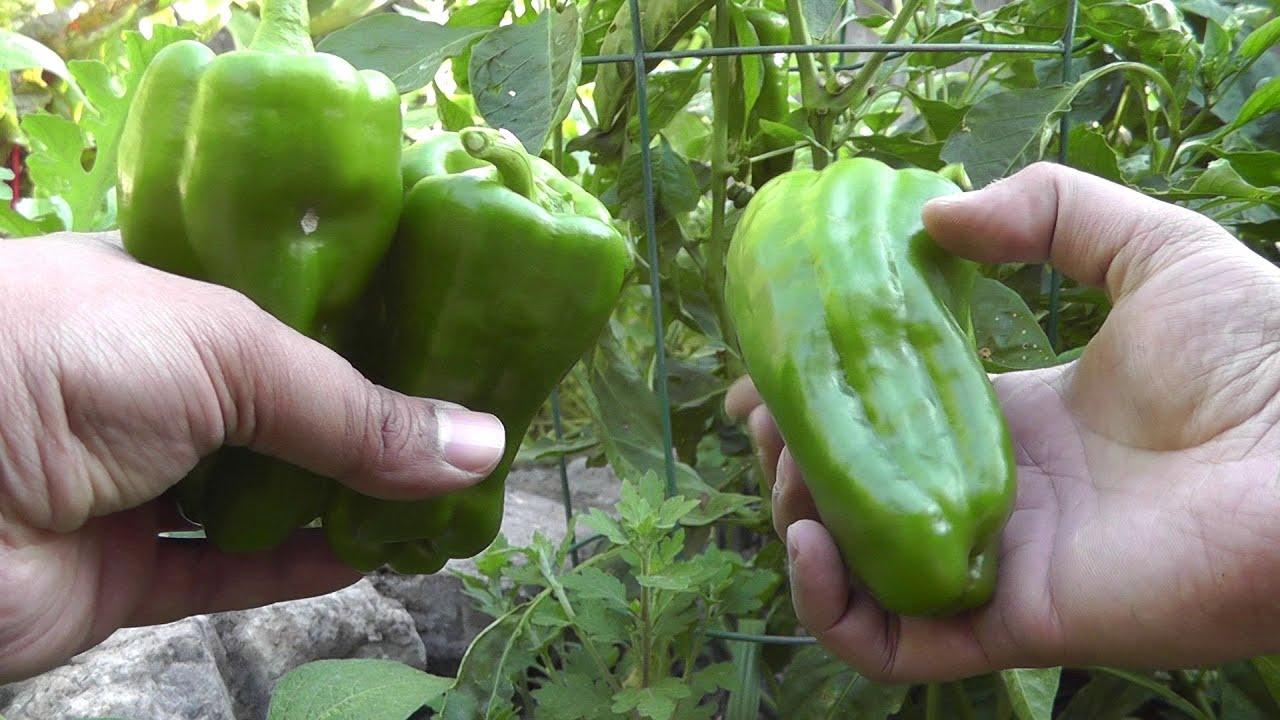 Sweet Pepper Bell Green Bonnie