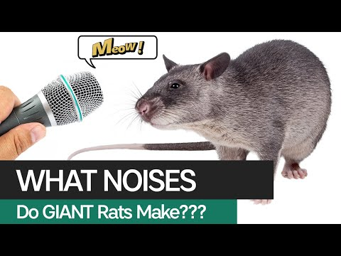 What Noises Does A Gambian Pouched Rat Make??