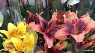 Цветочки в Ашане!Обновленный ассортимент! Есть даже Лилии!