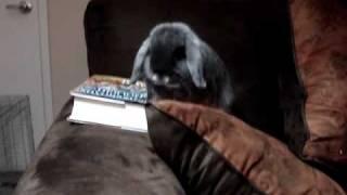 Our super cute Holland Lop bunny Nacho eats a book