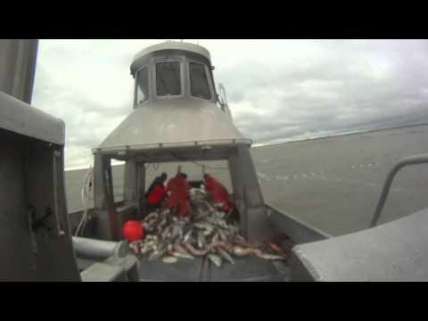 Salmon,Bristol Bay,Commercial Fishing, Alaska