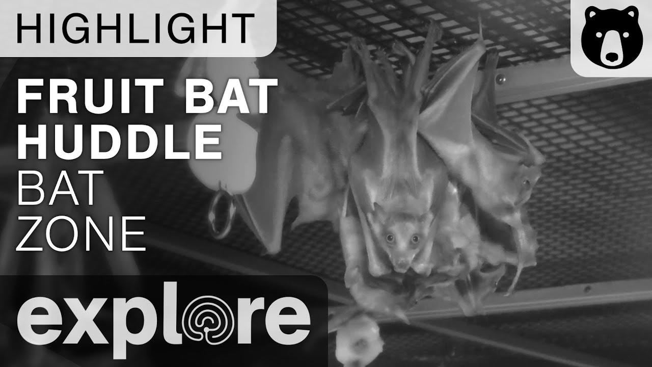 Fruit Bats Huddle - Bat Zone Live Cam Highlight 10/19/17