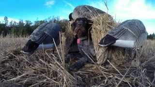 Canada Goose Hunting 2015