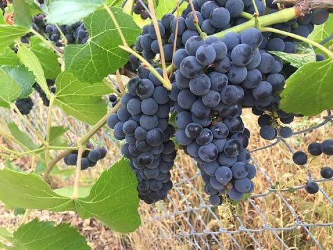 How to Grow Grape Vines for FREE