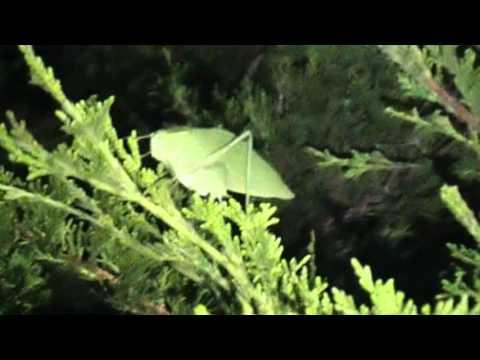The strange bug that makes the clicking sound at night   Katydid(Microcentrum Californicum)