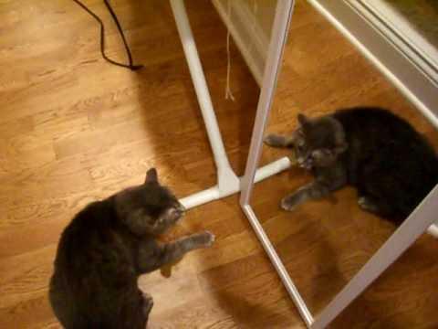 coretta the banshee cat   cat attacks self in mirror an