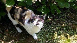 公園の地域猫の三毛猫ちゃん、今日はモフモフ、スリスリに来てくれまし...
