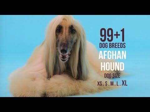 Afghan Hound / 99+1 Dog Breeds