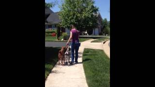 Vizsla & Gsp  Heel Walk: Dog Training, Syrius Dog