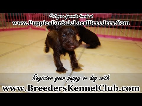 Miniature Schnauzer, Puppies For Sale, In Mobile, County, Alabama, AL, 19Breeders, Tuscaloosa