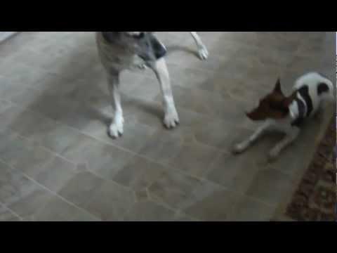 Rat Terrier, Husky, Lab pit mix playing