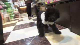トイプードルのブラックの子犬くん、2度目のお散歩練習しました! 最初...