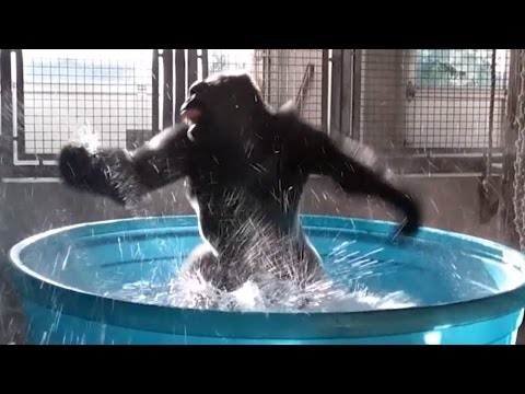 Thumbnail: Watch Gorilla's Latest Dance Moves as He Makes a Splash in Kiddie Pool
