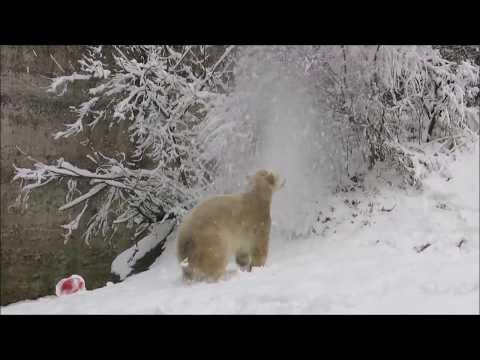 Eisbär Mädchen Quintana erlebt zum ersten Mal Schnee