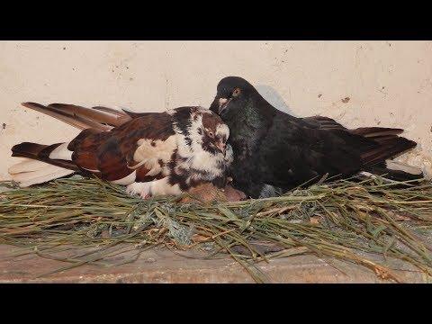 История двух сестёр-голубок - Голубиная сага - Серия 116
