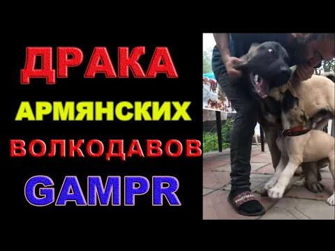Драка Армянских Волкодавов Гампров Афина и Ахиллес