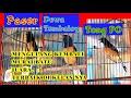 Kumpulan Murai Batu Juara  Terbaik Bob  Mp3 - Mp4 Download