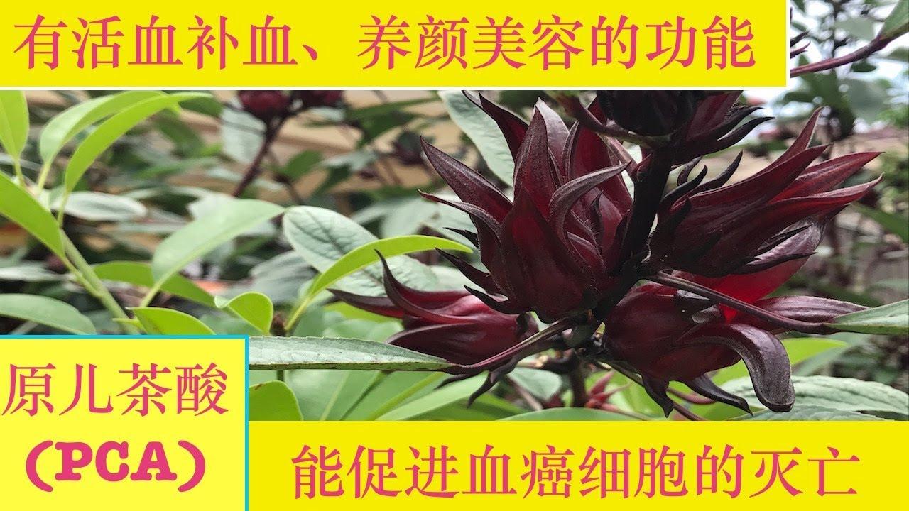 """洛神花~的功效與作用.Roselle benefits or """"roselle """"plant tea. - YouTube"""