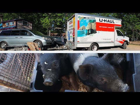 Couple drives 5 pigs 300 miles behind a U-Haul