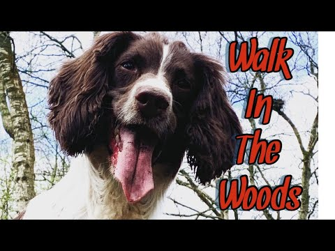 Morning walk with my English Springer Spaniel   Strong swimmer   Strong Climber.