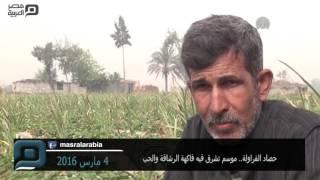 مصر العربية   حصاد الفراولة.. موسم تشرق فيه فاكهة الرشاقة والحب