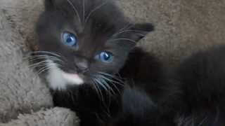 Black kittens with blue eyes (4 weeks old)