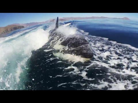 Orca chase in the Sea of Cortez...Bahia de los Angeles, Mexico