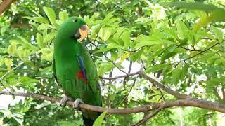 bird of tropical rain forest large green parrot colorful eclectus parrot