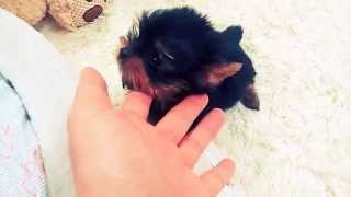 Yorkshire Terrier For Sale! Puppies For You