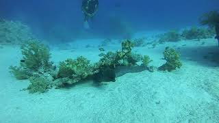 Египет.Дайвинг в Красном Море.Двухметровая мурена в поисках  укрытия.Июль2019