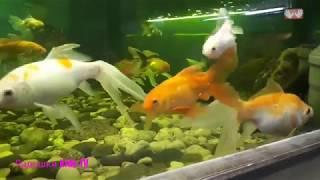 Золотые рыбки Goldfish