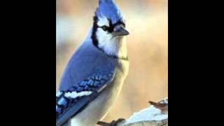 BLUE JAYS - we