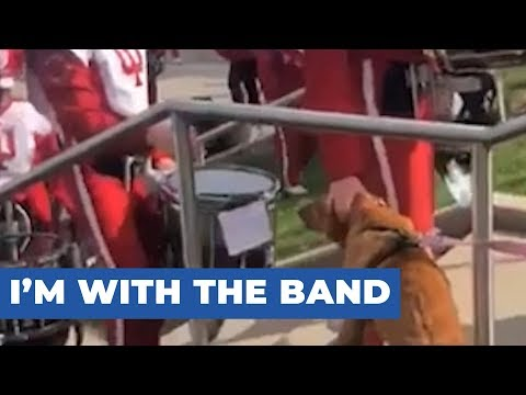 Golden Retriever Gets Pet by Marching Band