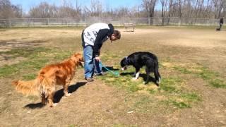 Golden Retriever Vs. Border Collie: Dog Park Fun