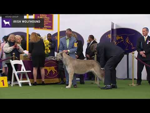 Irish Wolfhounds | Breed Judging 2020