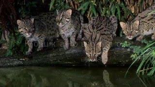 Кошка-рыболов - Fishing Cat (Энциклопедия животных)