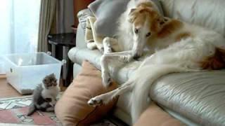 子猫遊びにに飽きてしまったボルゾイ(カイ君です)子猫はじゃれるも相...