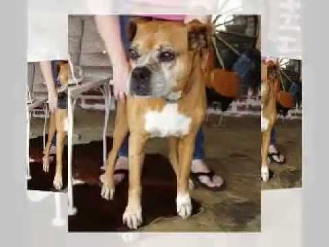 Legacy Boxer Rescue - Serving the Dallas-Ft  Worth (DFW