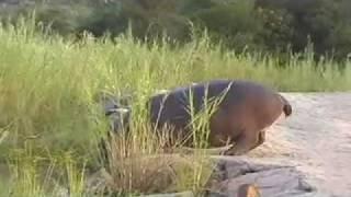 Hippo - Sand River at Kirkman's Kamp